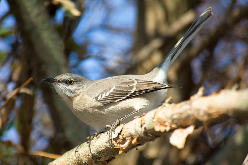 Mockingbird at John Heinz National Wildlife Refuge at Tinicum