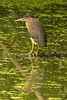 Green Heron at John Heinz National Wildlife Refuge at Tinicum