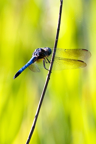 Male Keeled Skimmer Dragonfly at the John Heinz National Wildlife Refuge at Tinicum