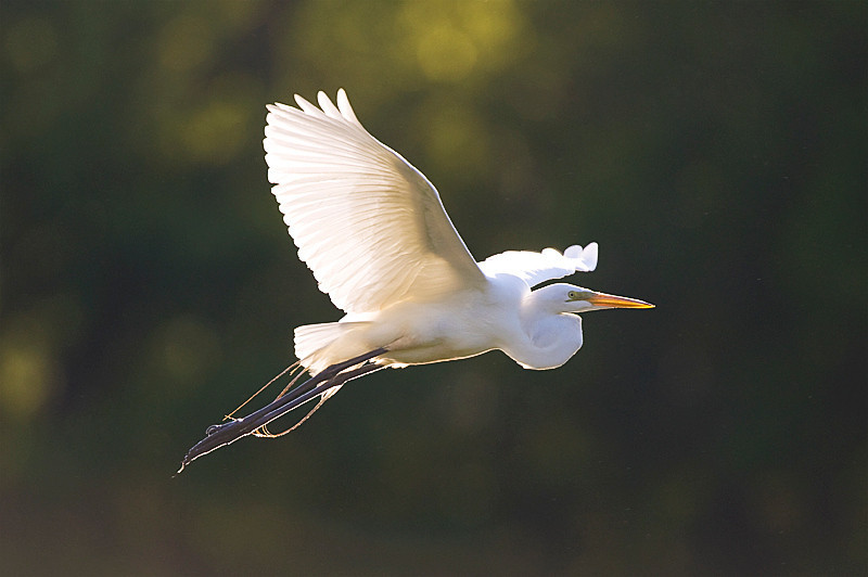 Great Egret at John Heinz National Wildlife Refuge