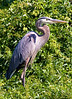 Great Blue Heron at John Heinz National Wildlife Refuge at Tinicum