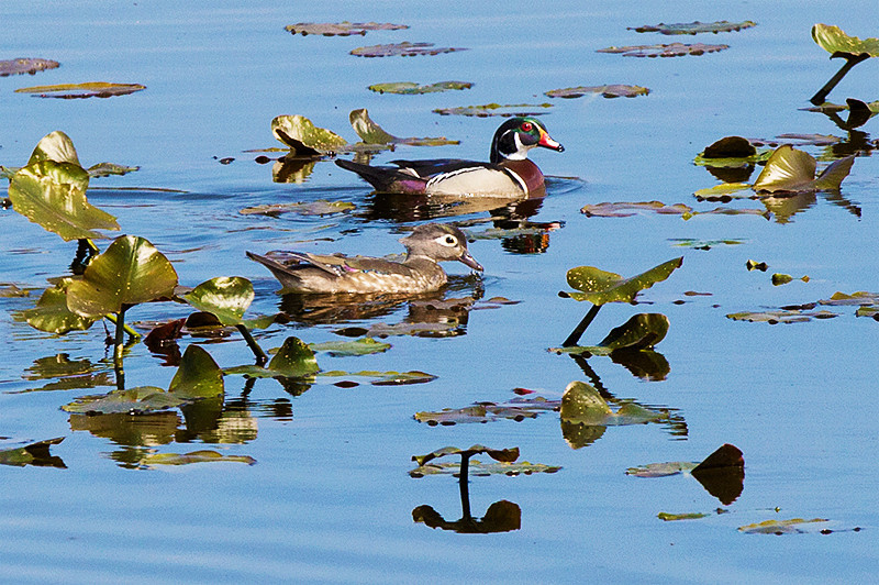 Male and female Wood Duck at the John Heinz National Wildlife Refuge at Tinicum