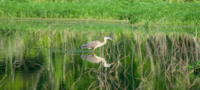 John Heinz National Wildlife Refuge at Tinicum - Great Blue Heron