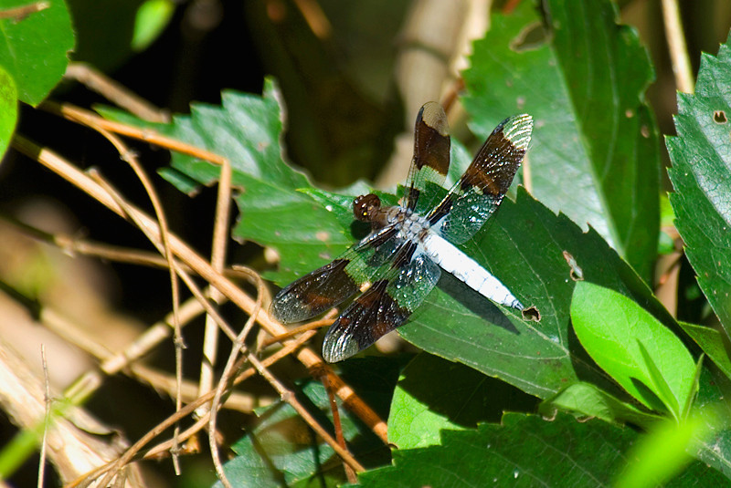 Whitetail Skimmer Dragonfly - John Heinz National Wildlife Refuge at Tinicum