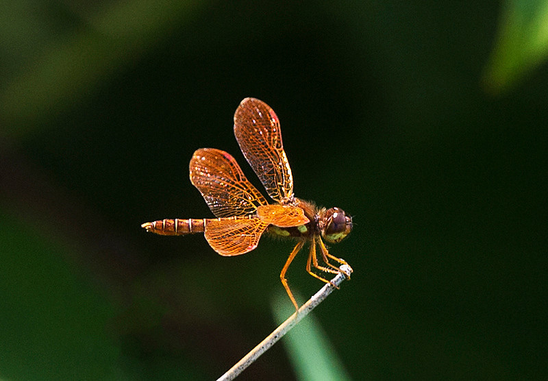 Male Eastern Amberwing dragonfly at John Heinz National Wildlife Refuge at Tinicum
