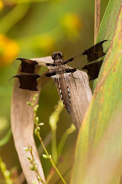 Common Whitetail - Plathemis Lydia (female) at John Heinz National Wildlife Refuge at Tinicum