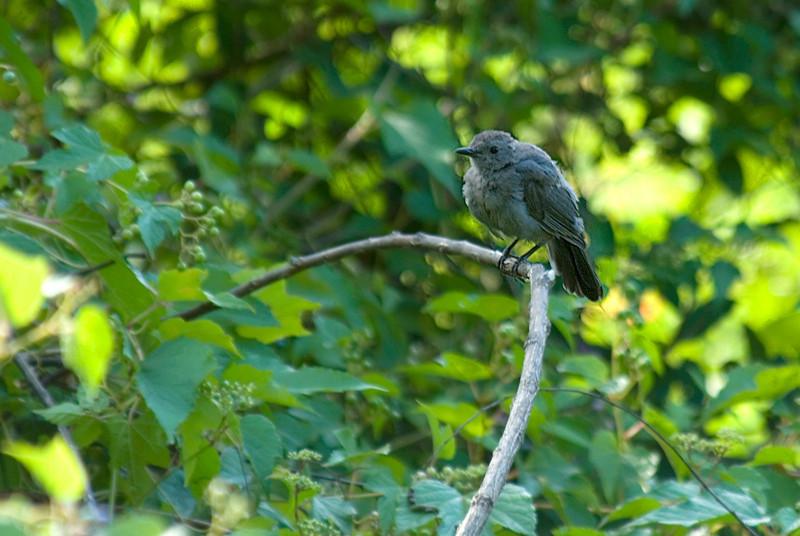 Catbird at John Heinz National Wildlife Refuge at Tinicum
