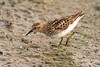 Least Sandpiper at the John Heinz National Wildlife Refuge at Tinicum