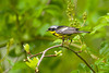 Magnolia Warbler at John Heinz National Wildlife Refuge