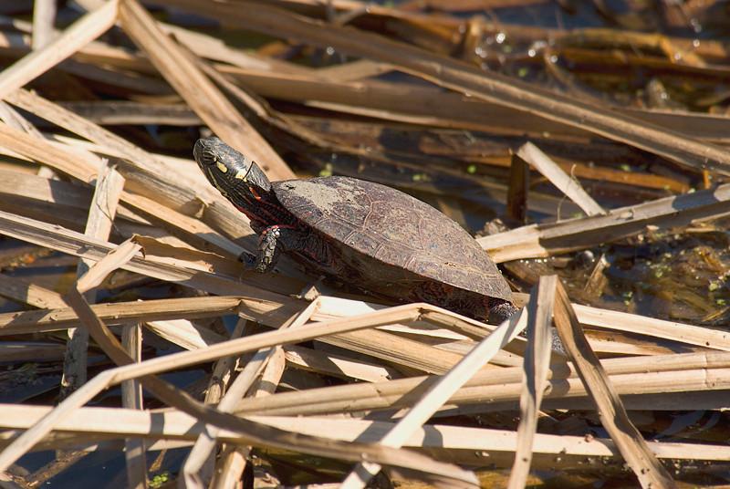 Painted Turtle at John Heinz National Wildlife Refuge at Tinicum