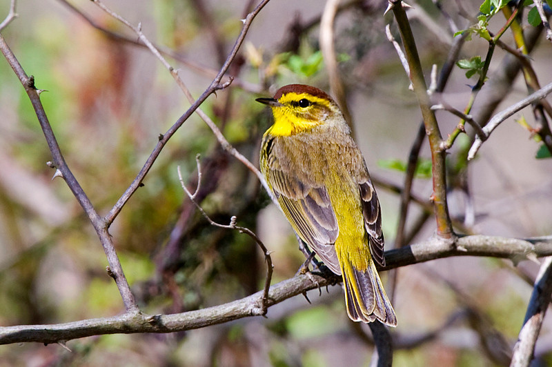 Palm Warbler at John Heinz National Wildlife Refuge at Tinicum