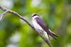 Female Tree Swallow at John Heinz National Wildlife Refuge at Tinicum