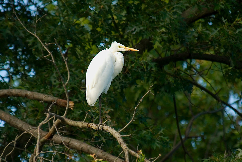 Great Egret at John Heinz National Wildlife Refuge at Tinicum