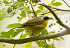 Common Yellowthroat at John Heinz National Wildlife Refuge