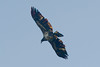 Red Tailed Hawk at the John Heinz National Wildlife Refuge at Tinicum