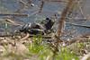 American Bullfrog at John Heinz National Wildlife Refuge at Tinicum