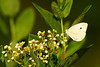 Cabbage White Butterfly at John Heinz National Wildlife Refuge at Tinicum