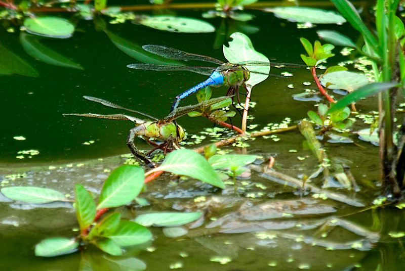 John Heinz National Wildlife Refuge at Tinicum: Two Emperor Dragon Flies