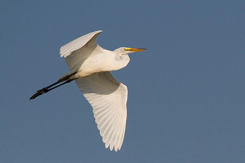 Great Egret in flight at John Heinz National Wildlife Refuge at Tinicum