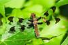 Female Twelve Spotted Skimmer (Libellula pulchella) dragonfly at the John Heinz National Wildlife Refuge at Tinicum