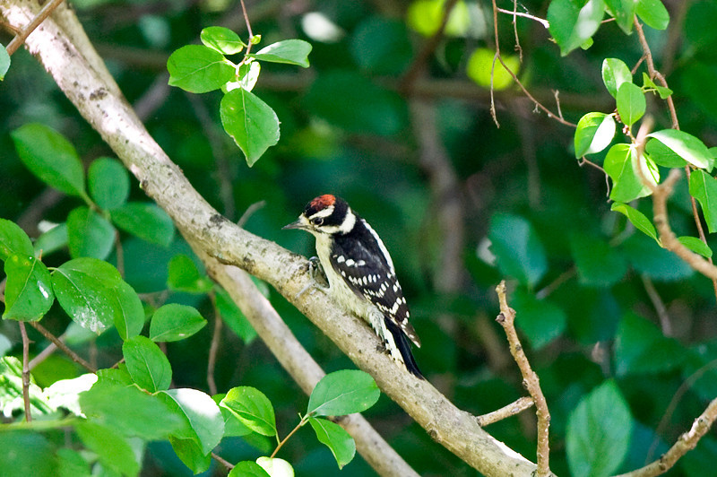 Downy Woodpecker at the John Heinz National Wildlife Refuge at Tinicum