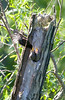 European Starling at the John Heinz National Wildlife Refuge at Tinicum