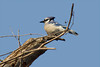 Blue Jay at John Heinz National Wildlife Refuge at Tinicum