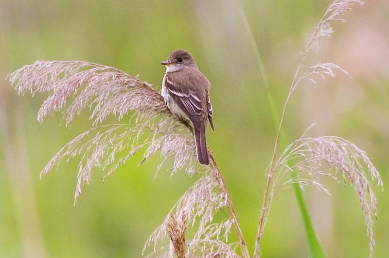 Willow Flycatcher at John Heinz National Wildlife Refuge at Tinicum