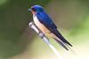 Barn Swallow at John Heinz National Wildlife Refuge at Tinicum