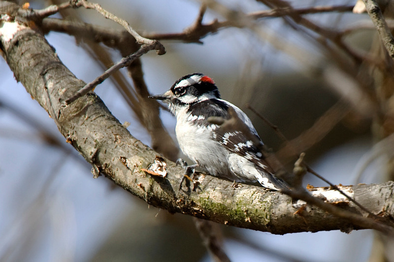 Downy Woodpecker at John Heinz National Wildlife Refuge at Tinicum