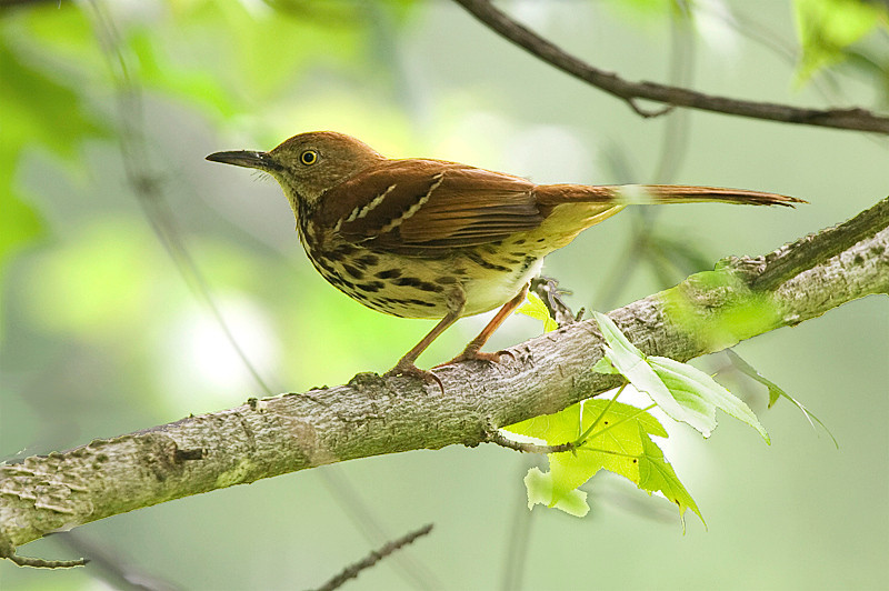 Brown Thrasher at John Heinz National Wildlife Refuge at Tinicum