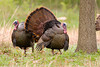 Wild Turkeys at John Heinz National Wildlife Refuge at Tinicum