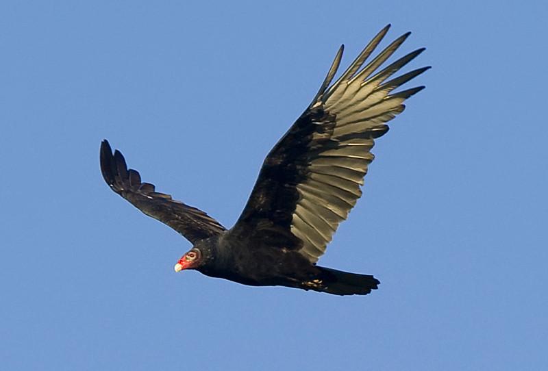 Turkey Vulture at John Heinz National Wildlife Refuge at Tinicum