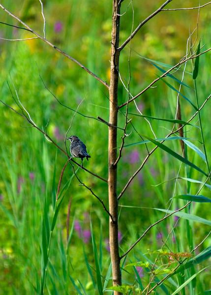 Gray Catbird at John Heinz National Wildlife Refuge at Tinicum