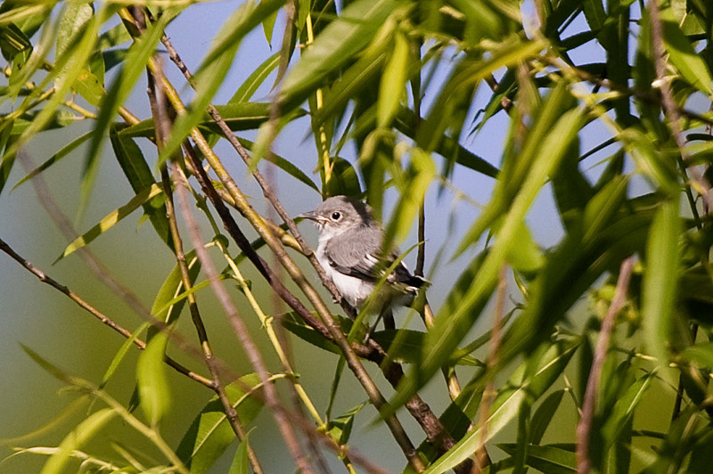 Willow Flycatcher at John Heinz National Wildlife Refuge at Tinicum