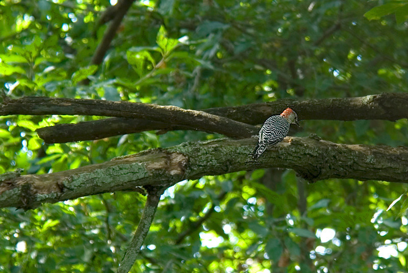 Red-bellied Woodpecker at John Heinz National Wildlife Refuge at Tinicum