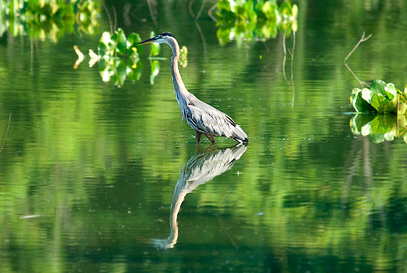 John Heinz National Wildlife Refuge at Tinicum - Great Blue Heron