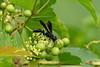 Great Black Wasp (Sphex pensylvanicus) at John Heinz National Wildlife Refuge at Tinicum