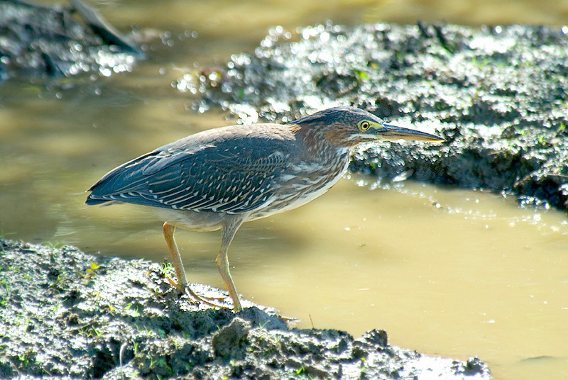 Green Heron at the John Heinz National Wildlife Refuge at Tinicum