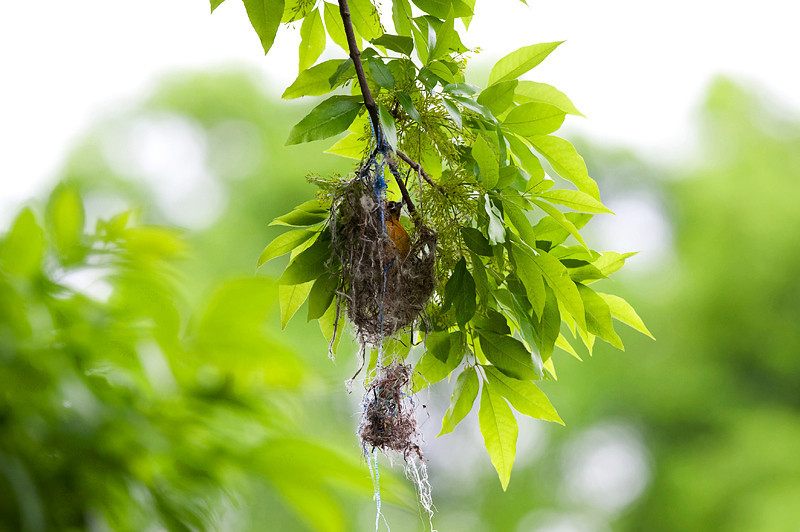Baltimore Oriole making a nest at the John Heinz National Wildlife Refuge at Tinicum