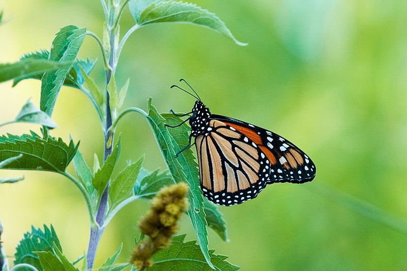 Danaus plexippus, Monarch Butterfly at the John Heinz National Wildlife Refuge at Tinicum