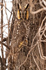 Adult Long Eared Owl at John Heinz National Wildlife Refuge at Tinicum