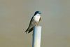 Tree Swallow at the John Heinz National Wildlife Refuge at Tinicum