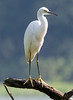 Snowy Egret at John Heinz National Wildlife Refuge at Tinicum