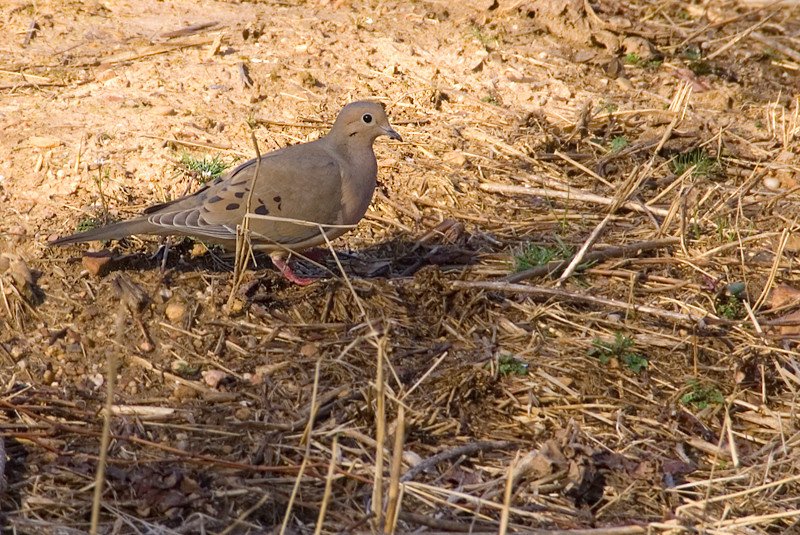 Mourning Dove at John Heinz National Wildlife Refuge at Tinicum