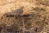 Mourning Dove at John Heinz National Wildlife Refuge at Tinicum