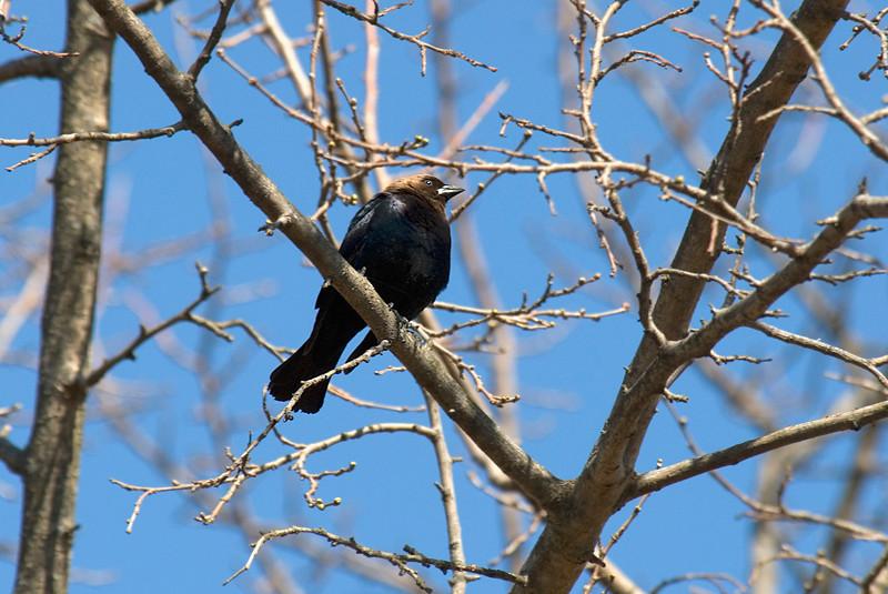 Brown Headed Cowbird at John Heinz National Wildlife Refuge at Tinicum