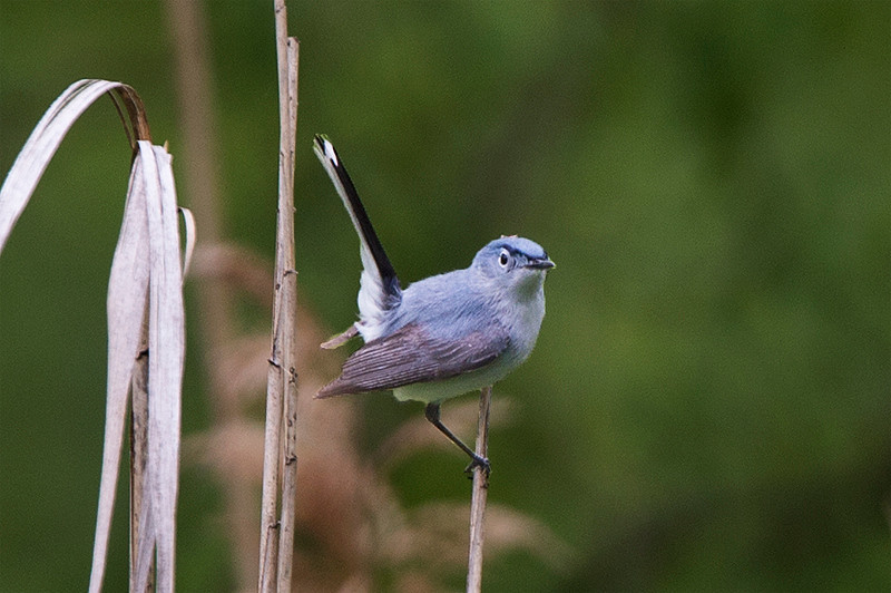 Adult male breeding Eastern Blue-gray Gnatchatcher at the John Heinz National Wildlife Refuge at Tinicum