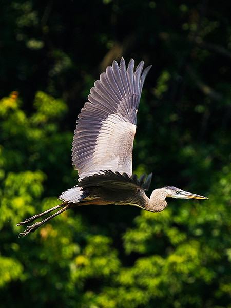Great Blue Heron in flight at John Heinz National Wildlife Refuge at Tinicum