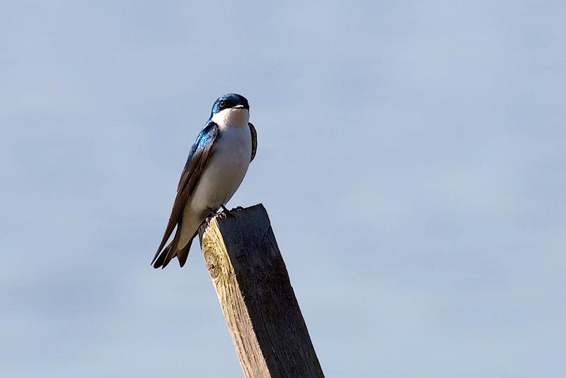 Tree Swallow at John Heinz National Wildlife Refuge at Tinicum